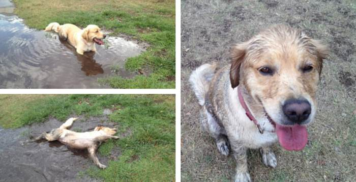 Goldie rolling in the mud