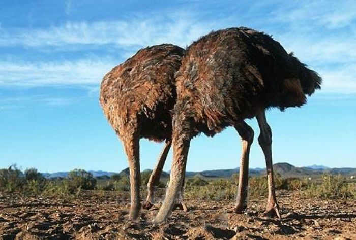 Emu's with their heads buried in sand