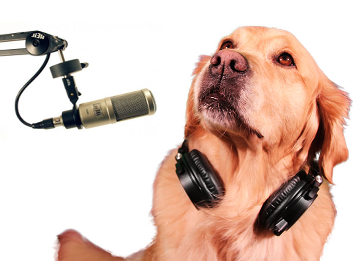 Golden Retriever podcasting
